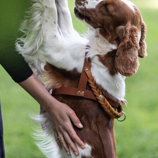 En hund av rasen welsh springer spaniel kramar om sin ägare. På sig har hunden en hundsele i läder med flätade detaljer