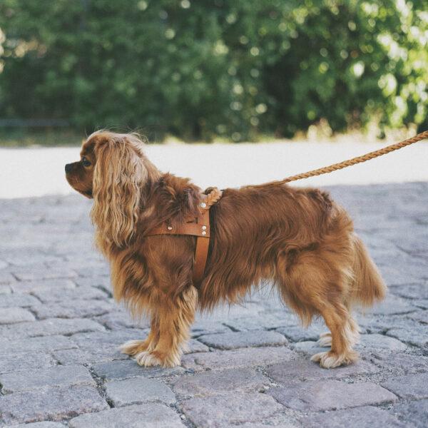 En brun hund bär en hundsele i cognacsfärgat läder med flätade detaljer