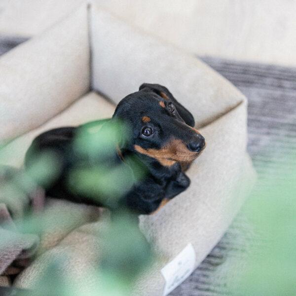 En svart hundvalp av rasen dvärgtax sitter i en rektangulär hundbädd med beige klädsel