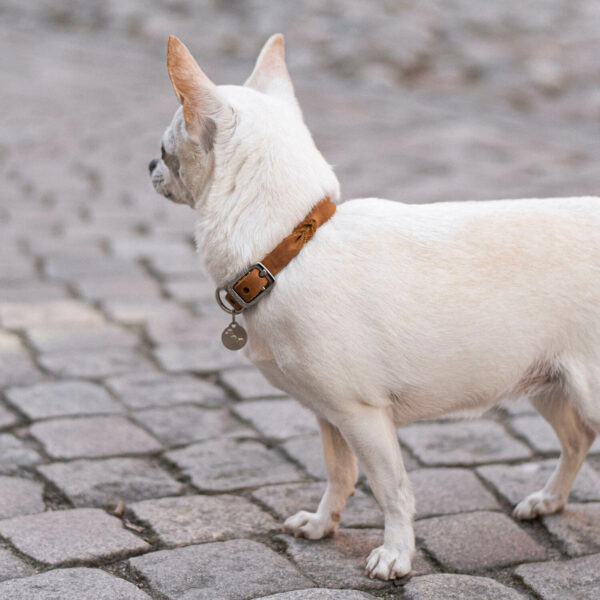 En vit chihuahua bär ett hundhalsband i cognacsfärgat läder. På halsbandet hänger en silvrig namnbricka.