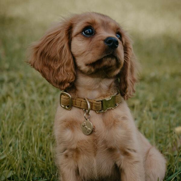 En hundvalp sitter i gräset. På sig har hunden ett senapsgult halsband. I halsbandet hänger en namnbricka i mässing.